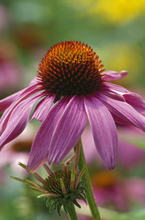 Purple coneflower blossom (Echinacea purpurea) von Panoramic Images