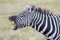 Close-up of a zebra braying von Panoramic Images