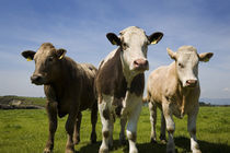 Cattle, County Waterford, Ireland by Panoramic Images