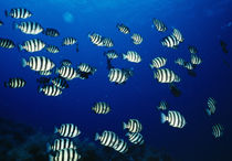 School of fish underwater, Sado, Niigata Prefecture, Japan by Panoramic Images