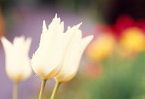 Close-up of tulip flowers by Panoramic Images