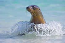 Galapagos sea lion (Zalophus wollebaeki) in the sea, Galapagos Islands, Ecuador von Panoramic Images