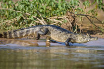 Yacare caiman (Caiman crocodilus yacare) at riverbank by Panoramic Images