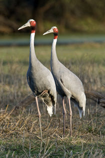 Close-up of two Sarus cranes (Grus antigone) by Panoramic Images