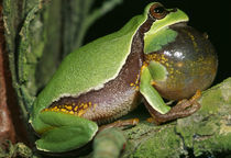 Pine Barrens Treefrog (Hyla Andersoni) On Branch by Panoramic Images