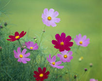 Close-up of wildflowers, Oku-Aizu, Fukushima Prefecture, Japan by Panoramic Images