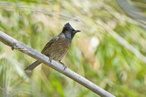 Red-Vented bulbul (Pycnonotus cafer) perching on a tree by Panoramic Images