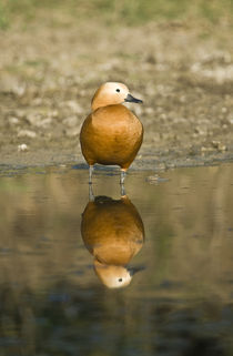 Close-up of a Ruddy shelduck (Tadorna ferruginea) in water by Panoramic Images