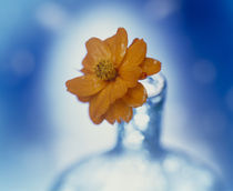 Close up of ruffled marigold bloom  von Panoramic Images