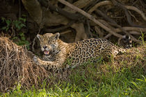 Jaguar (Panthera onca) resting on grass by Panoramic Images