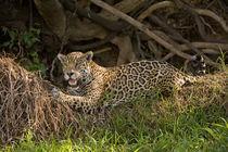 Jaguar (Panthera onca) resting on grass von Panoramic Images