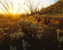 USA, Arizona, Sonoran Desert, Ocotillo and teddy bear cholla by Panoramic Images