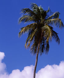 Puerto Rico, Vieques Island, Sun Bay Beach, Low angle view of a palm tree by Panoramic Images