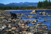Wolf On Rocks At Edge Of Flathead River by Panoramic Images