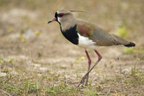 Close-up of a Southern lapwing (Vanellus chilensis) von Panoramic Images