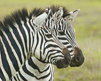 Close-up of two zebras by Panoramic Images