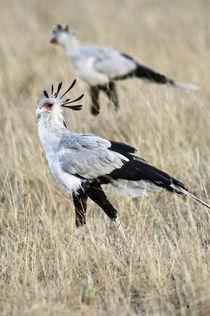 Secretary birds (Sagittarius serpentarius) foraging von Panoramic Images