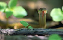 Eastern garter snake (Thamnophis sirtalis-sirtalis) in underbrush by Panoramic Images