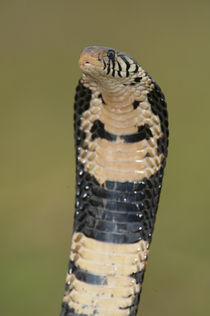 Close-up of a Forest cobra (Naja melanoleuca) rearing up, Lake Victoria, Uganda by Panoramic Images