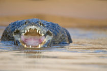Yacare caiman (Caiman crocodilus yacare) in a river von Panoramic Images