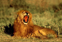 Roaring Lion Tanzania Africa by Panoramic Images
