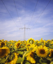 Power lines over a sunflower field, Baden-Wurttemberg, Germany by Panoramic Images
