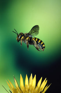 Wasp hovering over a flower von Panoramic Images