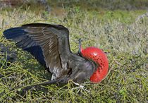 Close-up of a Magnificent Frigatebird (Fregata magnificens) von Panoramic Images