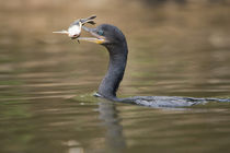 Neotropic cormorant (Phalacrocorax brasilianus) with fish in beak by Panoramic Images