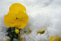 Yellow pansy flower blossom in spring snow. von Panoramic Images