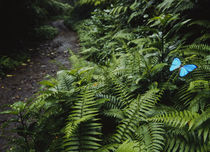 High angle view of a Blue Morpho butterfly (Morpho menelaus) on a plant von Panoramic Images