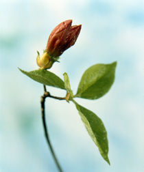 Close up of dark pink flower bud on green stem with green leaves von Panoramic Images
