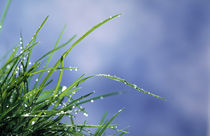 Dew drops on grass blades by Panoramic Images