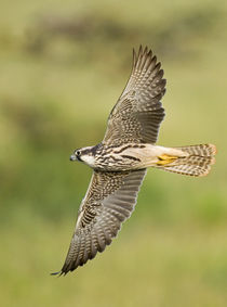 Close-up of a Lanner falcon flying by Panoramic Images