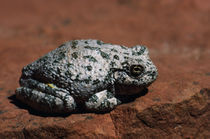 Southwestern Toad (Bufo Microscaphus) On Rock by Panoramic Images