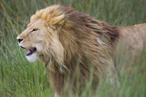 Side profile of a lion in a forest von Panoramic Images