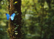 Close-up of a Blue Morpho butterfly (Morpho menelaus) on a tree von Panoramic Images