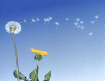 Dandelion (Taraxacum officinale) seeds blowing in the air by Panoramic Images