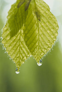 Dew drops on leaves von Panoramic Images