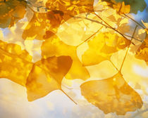 Selective focus close up of golden yellow autumn leaves von Panoramic Images