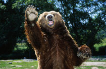 Grizzly Bear On Hind Legs by Panoramic Images