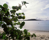 US Virgin Islands, St. John, Gibney's Beach, Seagrape tree on the beach by Panoramic Images