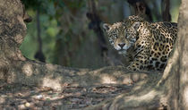 Jaguar (Panthera onca) in a forest by Panoramic Images
