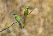 Two Green Bee-Eaters (Merops orientalis) perching on a branch by Panoramic Images