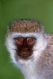 Vervet Monkey Tanzania Africa by Panoramic Images