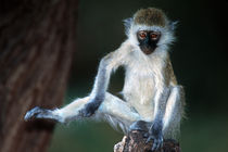 Vervet Monkey Kenya Africa by Panoramic Images