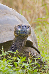 Close-up of a Galapagos Giant tortoise (Geochelone nigra) by Panoramic Images