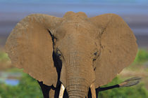Close-up of an African elephant von Panoramic Images