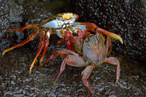 Close-up of two Sally Lightfoot crabs (Grapsus grapsus) by Panoramic Images