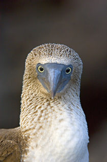 Close-up of a Blue-Footed booby (Sula nebouxii), Galapagos Islands, Ecuador von Panoramic Images